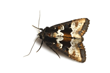 Phlogophora_albovittata