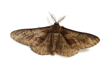 Phthonosema_tendinosarium