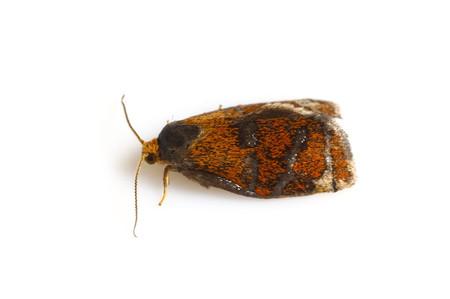 Ptycholoma_lecheanum_circumclusanum