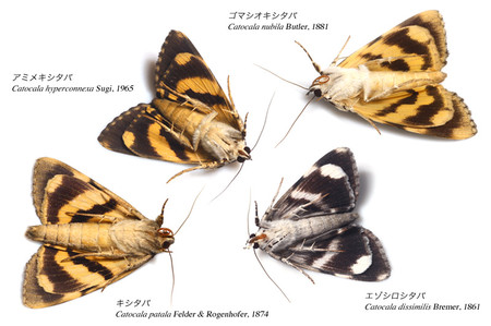 Some_species_of_japanese_catocala