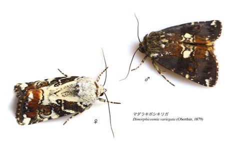 Dimorphicosmia_variegata