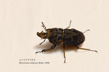Rhyssonotus_nebulosus