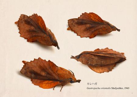 Gastropacha_orientalis