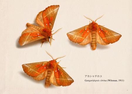 Gangaridopsis_citrina