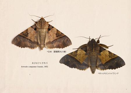 Serrodes_campanus