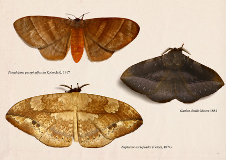 Eupterotidae_collected_from_cameron