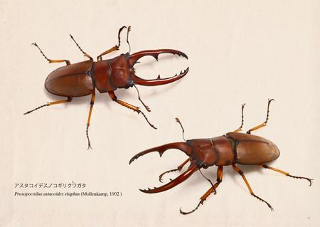 Prosopocoilus_astacoides_elaphus