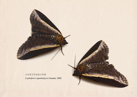 Lophoptera_squammigera