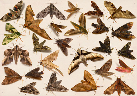 Sphingidae_moth_collected_from_japa