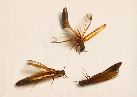 Lymexylonidae