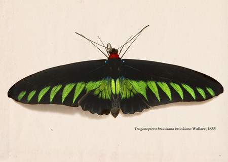 Trogonoptera_brookiana