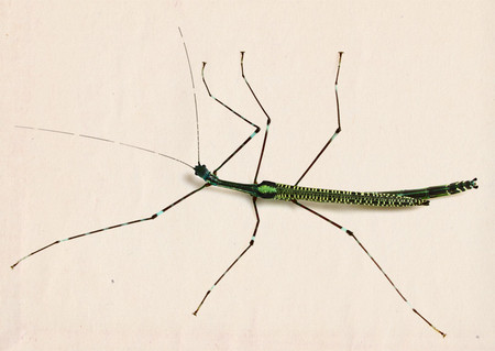 Stick_insect