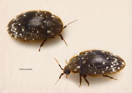 Chelonariidae