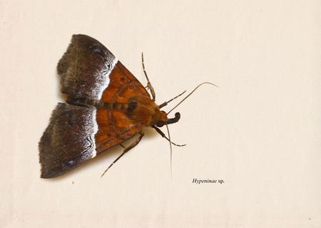 Hypeninae_sp