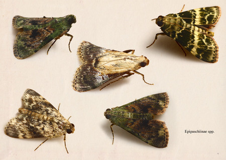 Epipaschiinae_spp