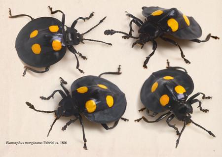 Eumorphus_marginatus
