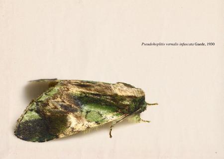 Pseudohoplitis_vernalis_infuscata