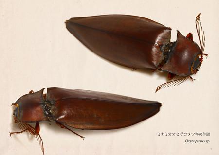 Oxynopterus