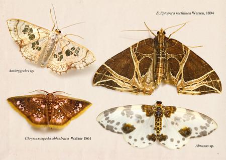 Geometridae2
