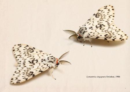 Lymantria_singapura