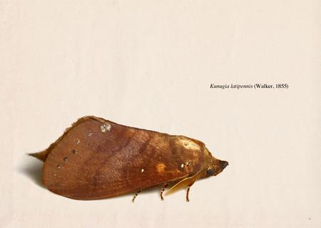 Kunugia_latipennis