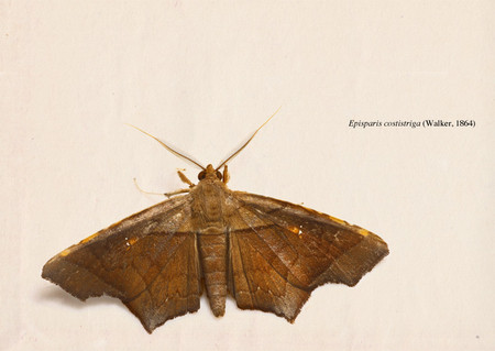 Episparis_costistriga