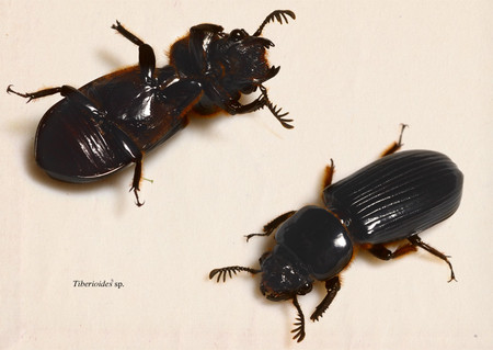 Tiberioides