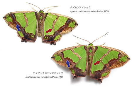 Compare_with_two_agathia_species