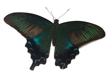 Papilio_dehaanii
