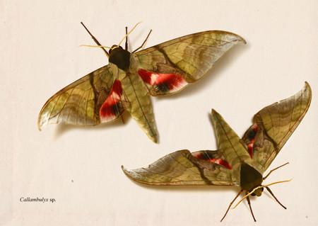 Callambulyx