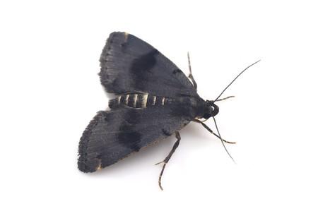 Sinarella_japonica
