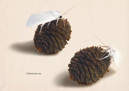 Chasminodes