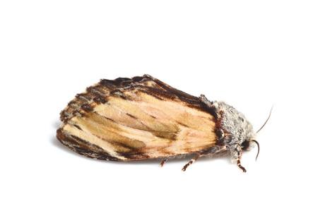 Neopheosia_fasciata_japonica
