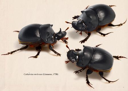 Catharsius_molossus
