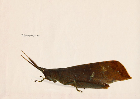 Trigonopteryx