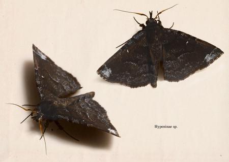 Hypeninae2