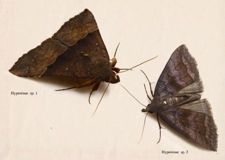 Hypeninae4