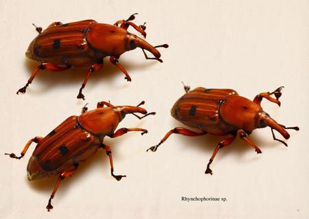 Rhynchophorinae
