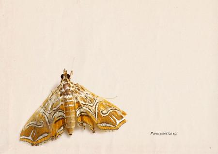 Paracymoriza