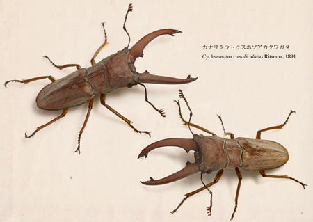 Cyclommatus_canaliculatus