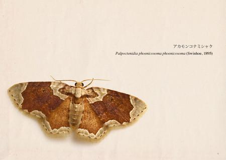 Palpoctenidia_phoenicosoma_phoenico