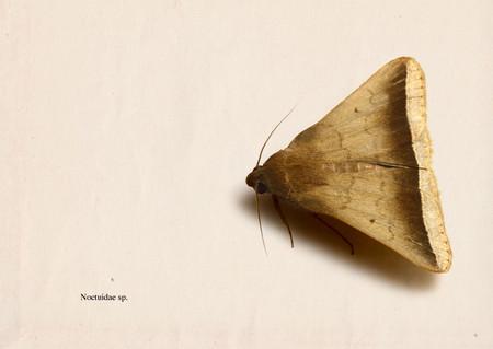 Noctuidae001