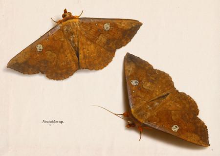 Noctuidae002