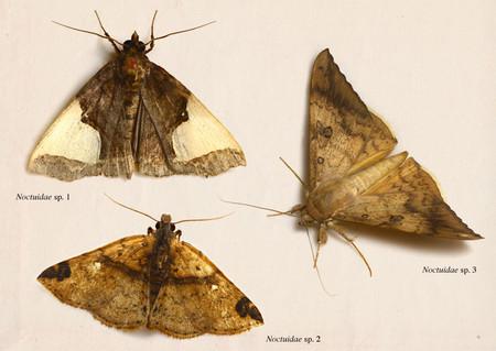 Noctuidae003