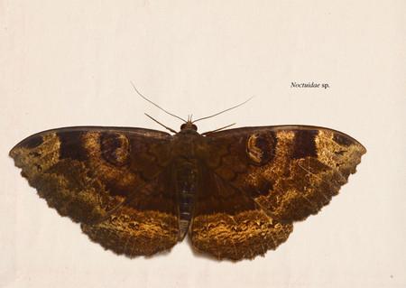 Noctuidae004
