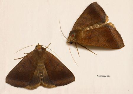 Noctuidae005
