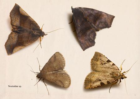 Noctuidae006
