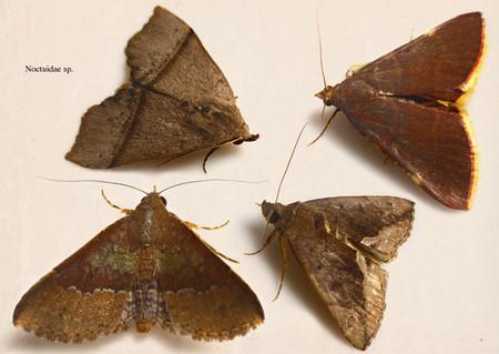Noctuidae007
