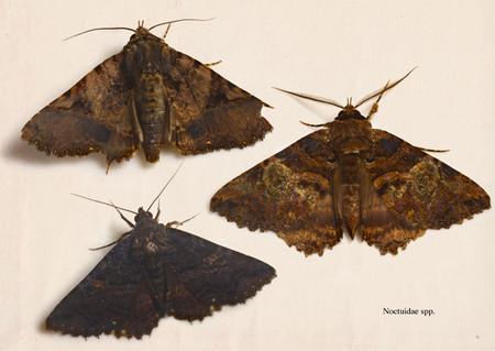 Noctuidae008