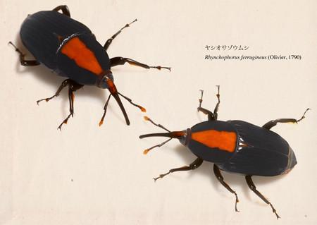 Rhynchophorus_ferrugineus